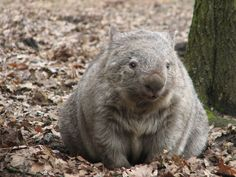 Cute Wombat, Baby Wombat, Happy Animals, Animals And Pets, Cute Animals, What Is A Wombat, Animal Pictures, Cute Pictures, Quokka