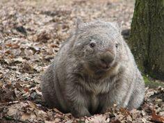 Nacktnasenwombat | Erlebnis Zoo Hannover