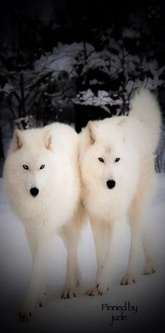 White Wolves | together | looking beautiful