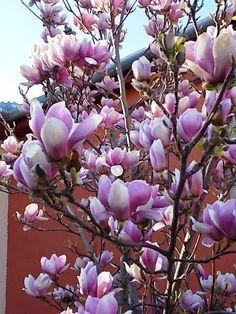 Ajánljuk: Főszerepben a magnóliák, http://kertinfo.hu/foszerepben-a-magnoliak/, ezekben a témakörökben:  #Alma #Díszkert #Fák #Kert #Kéziszerszámok #Konyhakertieszközök #Mag #Marha #Tavaszi, írta: Blog Nellikert