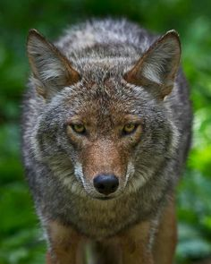 Coyote ~ very much the Trickster the native Americans named them, but every animal deserves to have a place in the world.