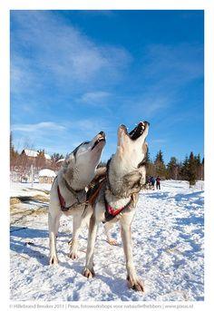 Dog Sledding in Finland. Photo Credit: Hillebrand Breuker