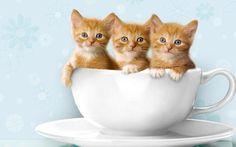 Cute Kitties Pictures Kitty World: Cute Kitten Wallpaper Little Kittens, Cute Cats And Kittens, Kittens Cutest, Tabby Kittens, Funny Kittens, Teacup Kitten, Baby Animals, Cute Animals, Funny Animals