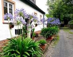 Pots with Purple Agapanthus in full bloom.