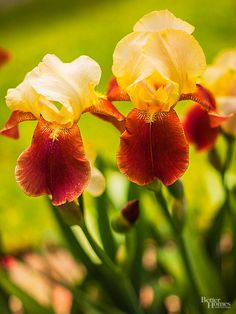 Siberian Iris blooms in spring. Classic bearded iris blooms in summer. Flower colors include white, blue, purple, orange, yellow, and pink. Zones: 3-9