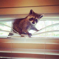 http://f-a.club/home-raccoon/