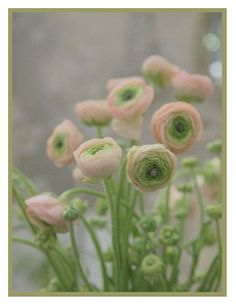 Ranunculus asiaticus (Persian Buttercup) by contentinacottage #Flower #Persian_Buttercup