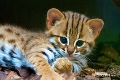 Rusty Spotted Cat (rare wild species) Baby