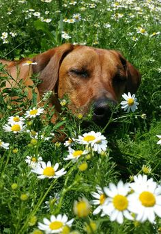 Funny Dogs, Adorable Dogs, Lion Dog, Rhodesian Ridgeback, Beautiful Dogs, Dog Pictures, Dachshund, African, Puppies