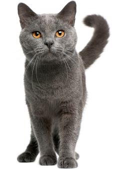 Chartreux More