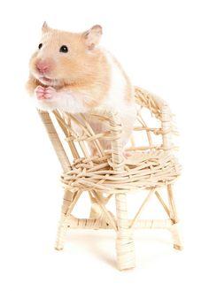 Begging hamster by Petographer.co.uk, via Flickr