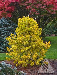 Pinus contorta 'Chief Joseph.'