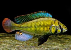 Freshwater Fish - Find incredible deals on Freshwater Fish and Freshwater Fish accessories. Let us show you how to save money on Freshwater Fish NOW! Malawi Cichlids, African Cichlids, Tropical Aquarium, Saltwater Aquarium, Tropical Fish, Aquascaping, Cichlid Fish, Freshwater Aquarium Fish, Ocean Creatures