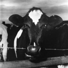 Cow Chewing Barbed Wire  by Peter Hujar Carnegie Museum of Art