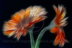 Sparkling flowers  framcaphotography.com
