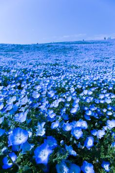 Raven S lifeisverybeautiful: baby blue eyes, Hitachi Seaside Park, Japan via PHOTOHITO Blue Flowers, Wild Flowers, Beautiful Flowers, Beautiful World, Beautiful Places, Hitachi Seaside Park, The Ancient Magus Bride, Beautiful Landscapes, Mother Nature