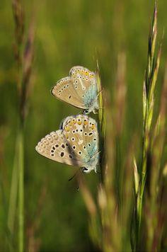 Storchschnabel-Bläuling (Aricia eumedon) und Himmelblauer Bläuling (Polyommatus bellargus) - nahe Karlstadt (UFR), 18.05.2014 Himmelblau, Moth, Butterflies, Insects, Animals, Animales, Animaux, Butterfly, Animal