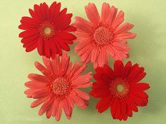 صور ورد جوري جديدة 2015 اجمل الورود بكل الالوان احمر اصفر بنفسجي ابيض Rosa Damascena Red Roses Beautiful Flowers Flowers