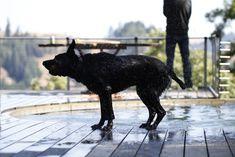 Wet dog in Sonoma