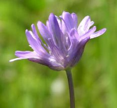 Field Cluster Lily, dichelostemma congestum