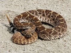 rattle snake Desert Animals, Reptiles And Amphibians, Tucson, Snakes, Vacations, Arizona, Deserts, Wildlife, Hotels