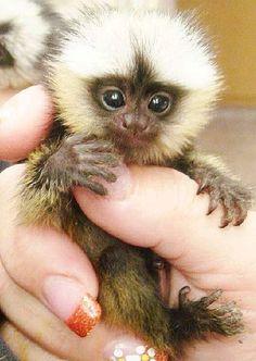 finger monkey yellow hair
