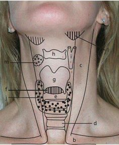 Landmarks of the Throat Area; viewing the throat from the outside and its relation to structures within. Nursing Tips, Nursing Notes, Physician Assistant, Medical Assistant, Nclex, Medical Students, Nursing Students, Medical Anatomy, Dental Anatomy