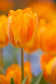 Bunch of Orange - Connie E Tulips Garden, Tulips Flowers, Love Flowers, Daffodils, Beautiful Flowers, Inside Garden, Bloom Where Youre Planted, Different Types Of Flowers, Diy Garden Projects