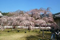 SAKURA in Kyoto JAPAN 醍醐寺霊宝館