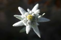 Edelweiss = Coolest. Flower. Ever.  Is it made of felt!?