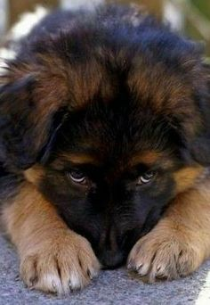Wicked Training Your German Shepherd Dog Ideas. Mind Blowing Training Your German Shepherd Dog Ideas. Cute Dogs And Puppies, Doggies, German Shepherd Puppies, Baby German Shepherds, Blue German Shepherd, Beautiful Dogs, Gorgeous Eyes, Simply Beautiful, Dog Pictures