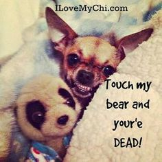 THIS is more the #chihuahua attitude-worse than my pitbull.