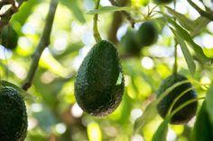 Details About Avocado (Fuerte) Grafted Plants Avocado Pesto Pasta, Avocado Butter, Red Haven, How To Ripen Avocados, Avocado Nutrition, Pink Guava, Tree Seedlings, Avocado Tree, Green Fruit