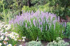 Bees and butterflies love aromatic Anise Hyssop