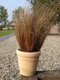 Check out the deal on Carex buchananii Red Rooster 36 Strip Tray at Hazzard's Plants Grass Seed, Red Grass, London Garden, Container Flowers, Grass, Seeds, Ornamental Grasses, Plants, Shade Perennials