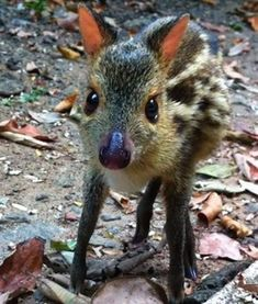 Baby Chevrotain Native to Southeast Asia, these cute little guys (also known as mouse-deers) look a bit like fawns, but may be more closely related to pigs. Several species of Chevrotain are known only from their fossils.