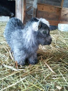 Raising Pygmy Goats as Pets - Modern Farming Methods Mini Goats, Cute Goats, Baby Goats, Cute Baby Animals, Farm Animals, Animals And Pets, Funny Animals, Pigmy Goats, Ocelot