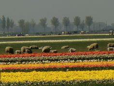 Tulpen n de beemster met schapen en koeien op de achter grond.