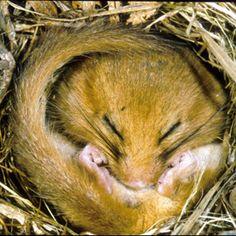 Hibernating dormouse © John Robinson