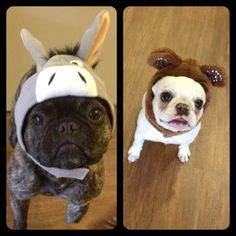 French Bulldogs in Halloween Costumes.