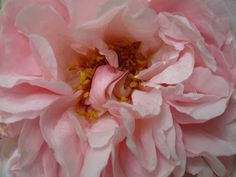 Tea With Friends: The David Austin Wedgwood Rose, what a stunner!!