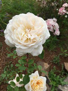 David Austin Crocus Rose