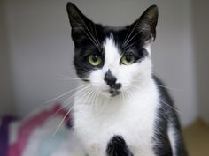 FELICITY is an adoptable Domestic Short Hair Cat in Boston, MA.