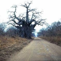 Large Baobab at entrance to Mana Pools (Zimbabwe) Amazing Photos, Cool Photos, African Tree, Baobab Tree, Lest We Forget, All Nature, Places Of Interest, Psychiatry, Zimbabwe