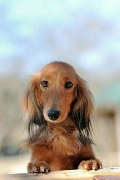Don't forget to take me with you. doxie