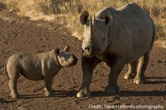 Did you know that rhinos are perissodactyls? Perissodactyls are also known as odd-toed ungulates, i.e. odd-hooved mammals, much like horses, asses, and zebras, the tapirs. The opposite of perissodactyls would be Artiodactyla, such as pigs, hippopotamuses, camels, deer, giraffes, sheep, goats, and cattle. Learn more about the different species of Rhino http://www.savetherhino.org/rhino_info/species_of_rhino