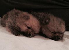Nydeligste  #pomeranianvalper #bellakleinspomeranian #bellaklein #pomeranian #puppies #pomlover #pomeraniansofinstagram