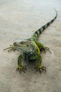 Iguane - Puerto Rico