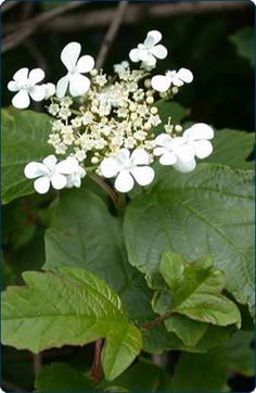 june Guelder Rose Shrub from buy-trees-online.co.uk with FREE delivery