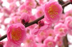 Beautiful Japanese cherry blossoms. My thoughts are with Japan...